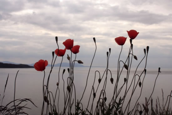 West Coast Poppies