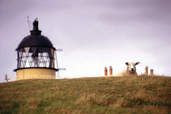 Sheep at Stoer Lighthouse